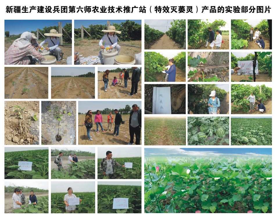 新疆生产建设兵团第六师农业技术推广站(特效灭萎灵)产品的实验部分图片