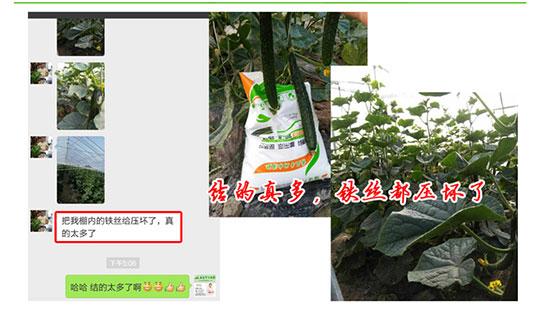 福进门黄瓜专用水溶肥6