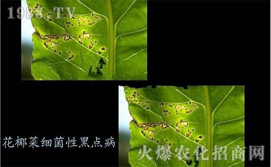 花椰菜细菌性黑点病3