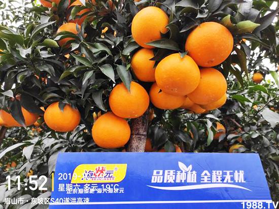 """种得好才能卖得好:柑橘增甜转色品相好就用""""海状元"""""""