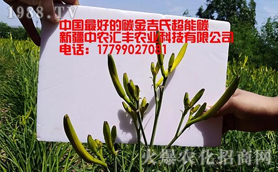 金吉氏超能碳在黄花菜上的效果展示