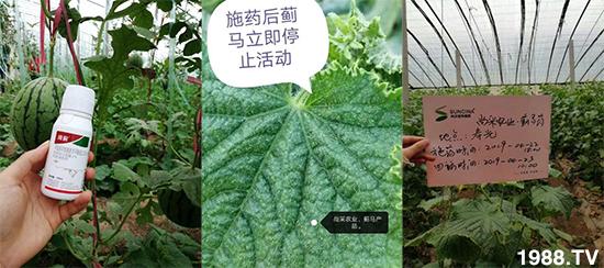 蓟马防治难?找准防治药剂是关键!高效杀虫对作物安全性高当属它!