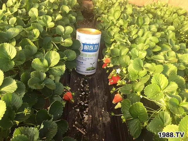 根腐病、枯萎病、黄萎病等草莓土传病害不可怕!这样做轻松解决草莓土传病害!