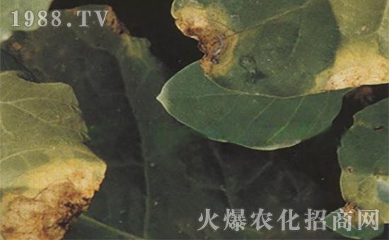 芥蓝黑腐病3