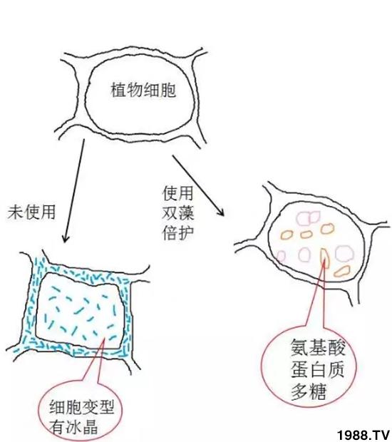 """柑橘防冻就用""""海状元""""双藻倍护!"""
