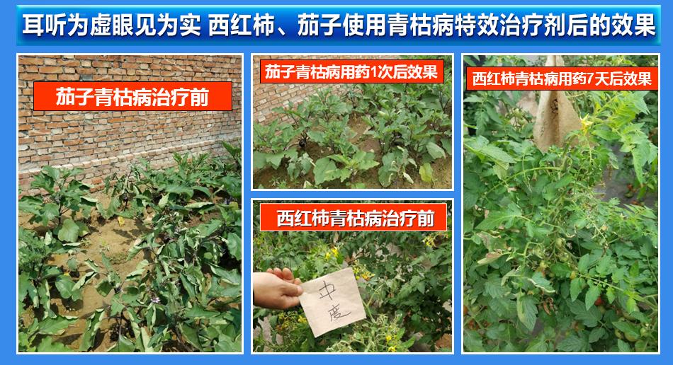 西红柿(番茄)黄化曲叶病治疗剂-农博士