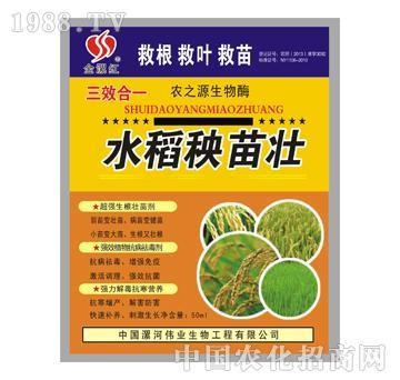 金漯红水稻秧苗壮