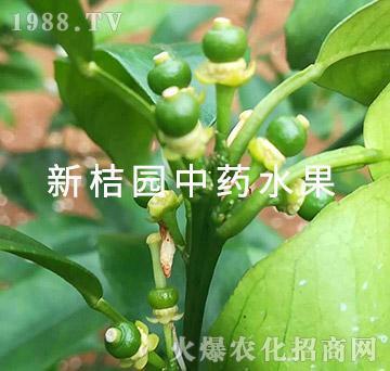 中医农业的药肥效果(幼果1)-新桔园