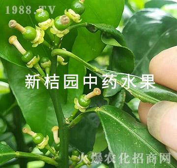 中医农业的药肥效果(幼果)-新桔园