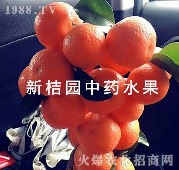 中医农业的药肥效果(成果2)-新桔园