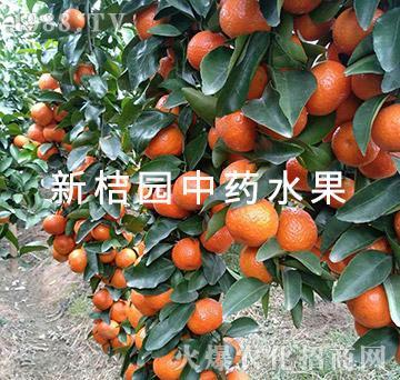 中医农业的药肥效果(成果)-新桔园