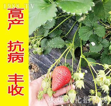 红颜-观霖草莓