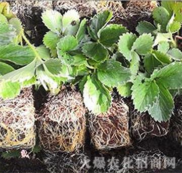基质草莓苗-观霖草莓